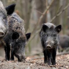 Peste porcine africaine